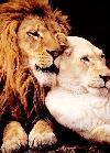 lev in levinja