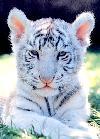 mali tiger
