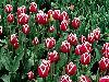 lepe ro�e tulipan